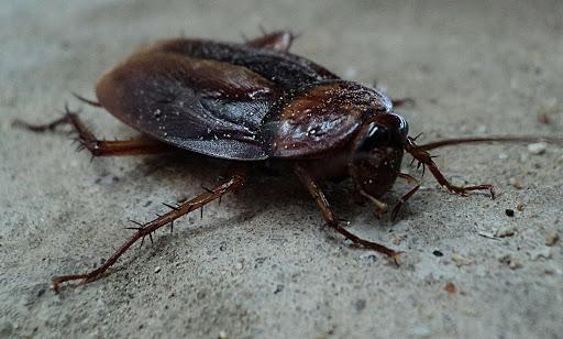 Pest Control Cockroach Close Up